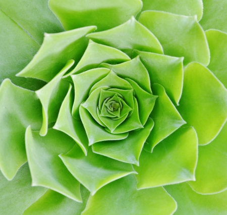 garten: Close up of Echeveria succulent Stock Photo