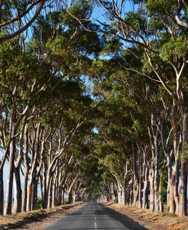 Long Avenue framed by blue gum trees in sunshine Stock Photo - 24813872