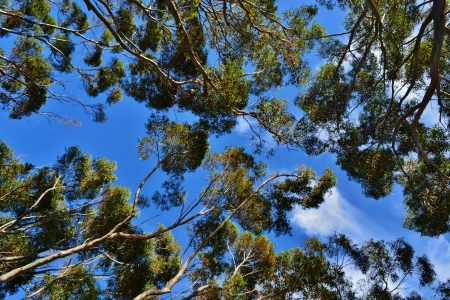 Eucalyptus trees canopies against blue sky photo