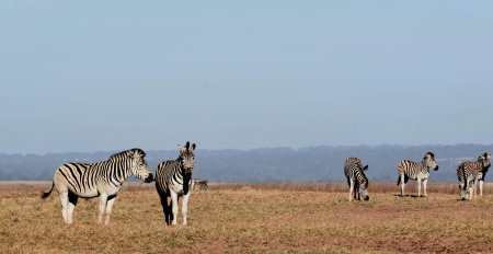grassing: Landscape with zebras grassing on dry land