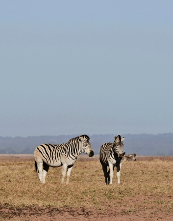 grassing: Landscape with zebras grassing on dry land
