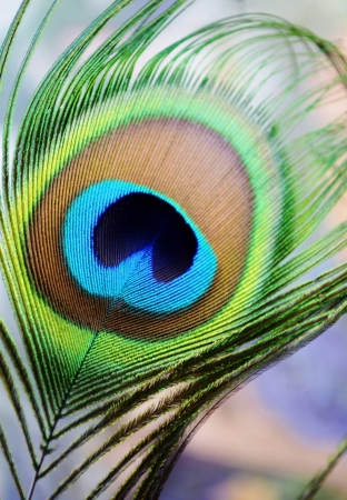 birds eye: Close up of colorful peacock feather Stock Photo