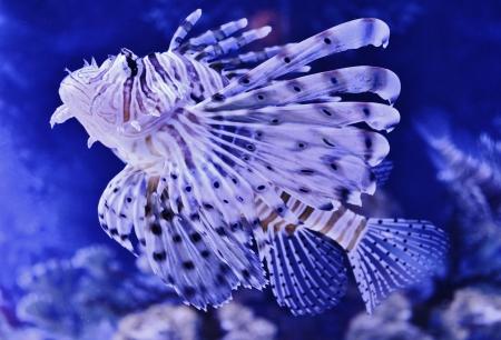 Close up of Lion fish in Aquarium photo
