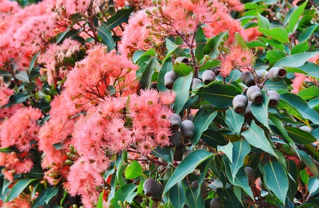 ironwood: Close up of red Pohutukawa blossoms