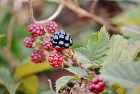 scrub grass: Close up of wild blackberries with sharp prickles