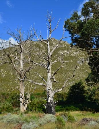 arboles secos: Paisaje con �rboles muertos y monta�as