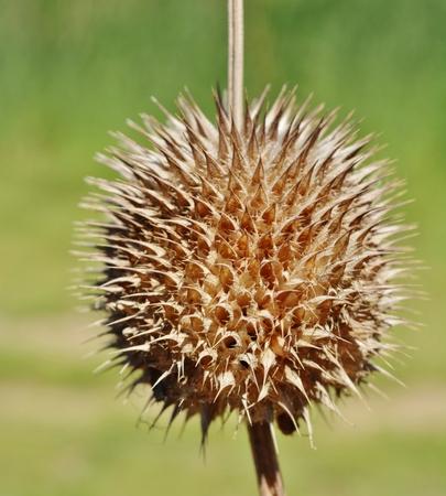 pflanze: Close up of dried up wild Dagga flower Stock Photo