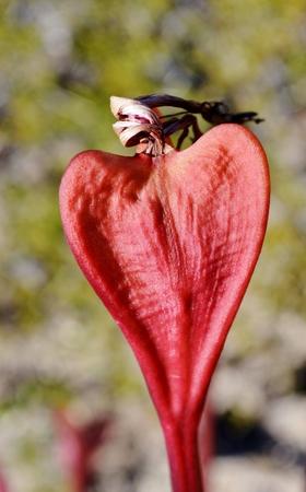 candelabra: Brunsvigia grandiflora red Candelabra flower in duenes