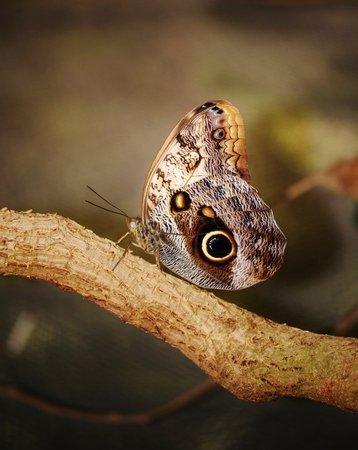 Close up of beautiful Owl butterfly with hugh eyespots photo