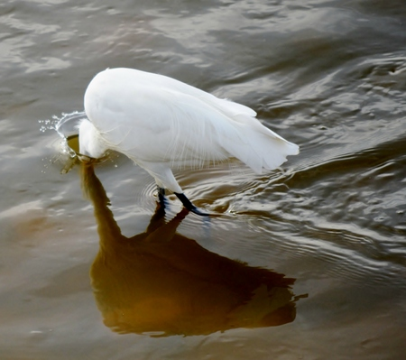 ittle: Close up of ittle Egret in the Milnerton lagoon