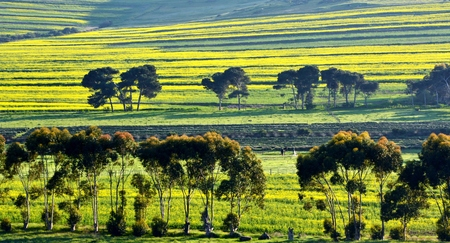 afrika: Landscape with yellow canola fields