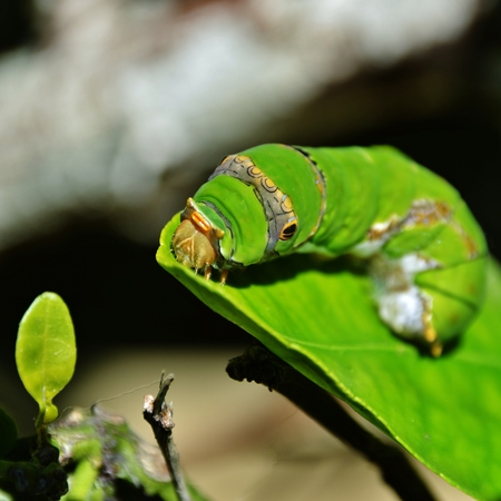 capetown: Close up of King Page Swallowtail Butterfly Caterpillar Stock Photo