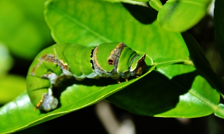 citrus plant: Close up of King Page Swallowtail Butterfly Caterpillar Stock Photo