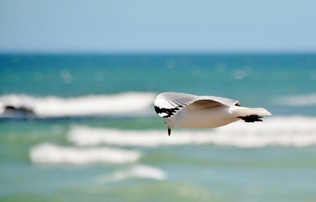 wen: Close up of Seagull over the Atlantic Ocean