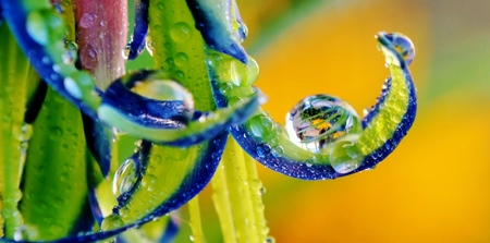 billbergia: Close up of Billbergia nutans Queens tears flower with Raindrops