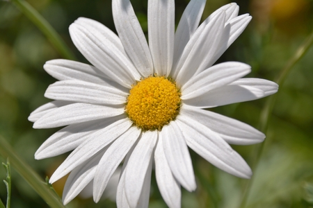 daisys: Close up of a Daisy in bright sunlight Stock Photo