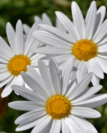 daisys: Close up of Daisys in bright sunlight