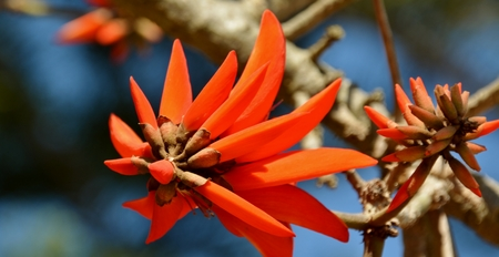 erythrina: Close up of beautiful red blossoms of a Coral Tree Stock Photo