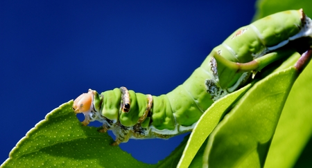 swallowtail: Close up of green King Page Swallowtail Caterpillar