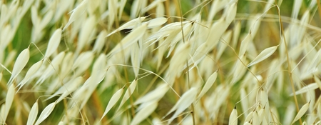 green backgrounds: Close up of dry grass in the wind
