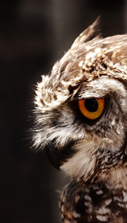 spotted: Close up of beautiful spotted Eagle owl