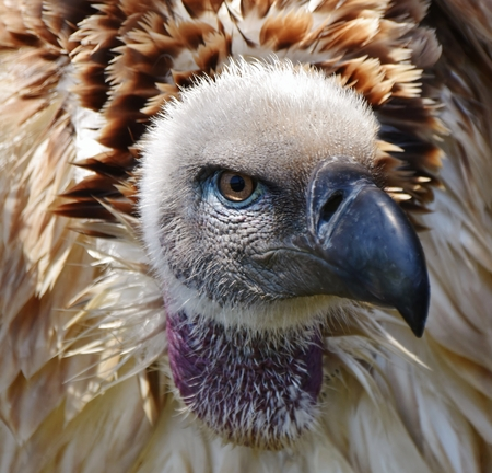 gyps: Close up of large brown Cape vulture