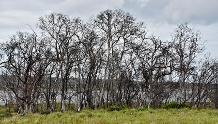 arboles secos: Landscape with dead trees on farm land Foto de archivo
