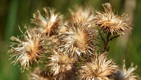 dried up: Close up of dried up wild flowers