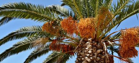 date palm: Close up of flowering Date Palm Tree