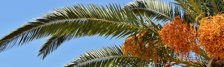 date palm tree: Close up of flowering Date Palm Tree