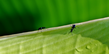 formicidae: Close up of Ants on a green banana leaf