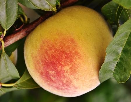 juicy: Close up of juicy Peach on Tree