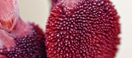 seed pots: Close up of canna Lily seed pots Stock Photo