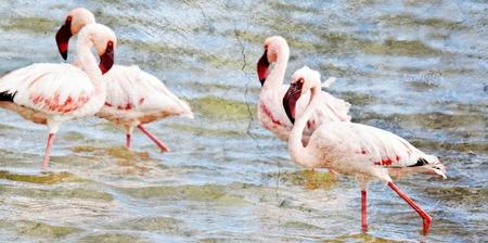 lesser: Lesser Flamingos feeding early in the morning