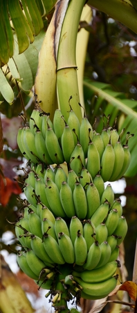 bunch up: Close up of a Bunch of wild Bananas Stock Photo