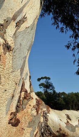 eucalyptus tree: Close up of Eucalyptus tree stem and bark Stock Photo