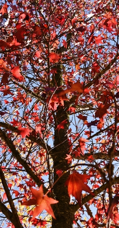red sky: Close up of autumn red Maple leaves