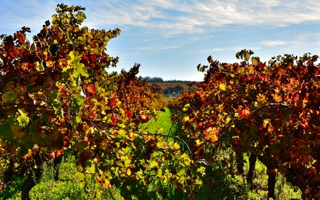 autumn colors: Landscape with vineyards in autumn colors and blue sky