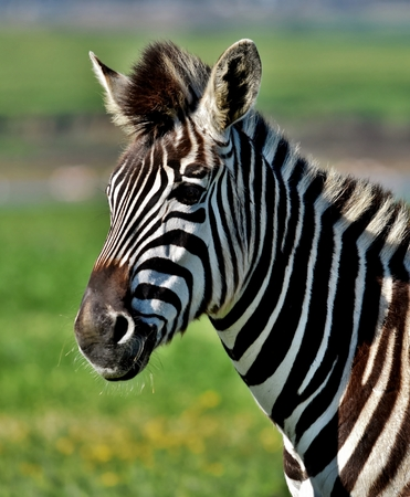 Close up of a Zebra on a green meadow Stock Photo