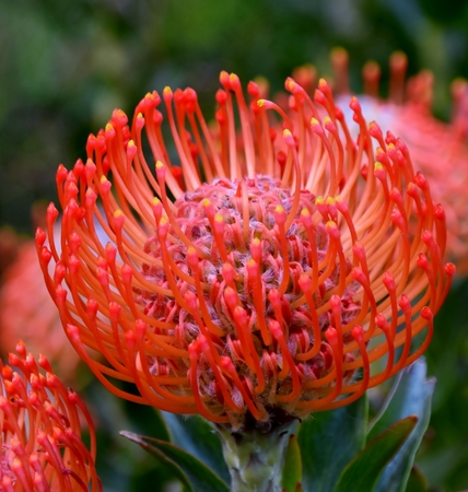 Close up of common red pincushion protea blossom Stock Photo