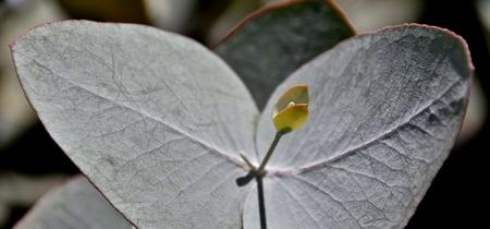 silvery: Close up of Eucalyptus Azura silvery blue foliage Stock Photo