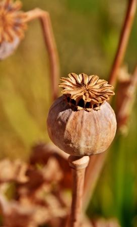 graden: Close up of a Poppy seed pod
