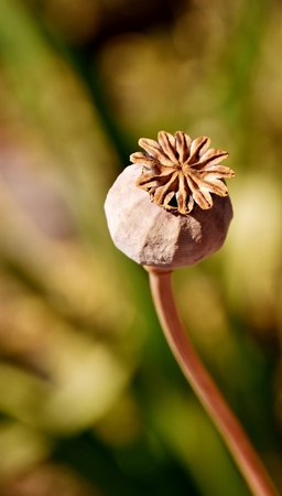 Close up of a Poppy seed pod