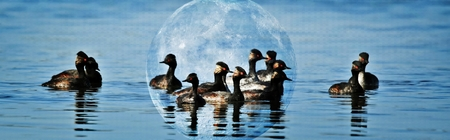 Close up of a flock of eared Grebe water birds Stock Photo