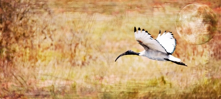 close up: Close up of an African sacred ibis in the sky