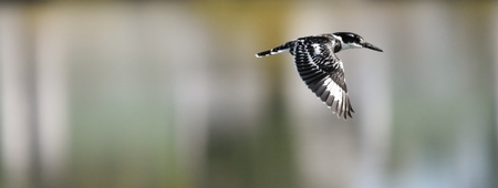 black plumage: Pied kingfisher with black and white plumage flying over a river