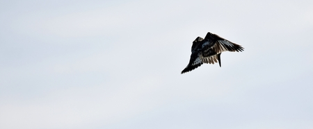 black plumage: Pied kingfisher with black and white plumage hovering over a river