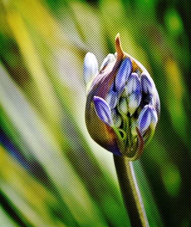 white nile: Close up of a Agapanthus lily bud
