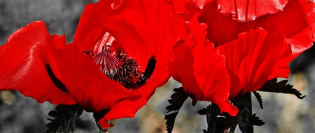 Close up of a poppy flowers in sunlight Stock Photo
