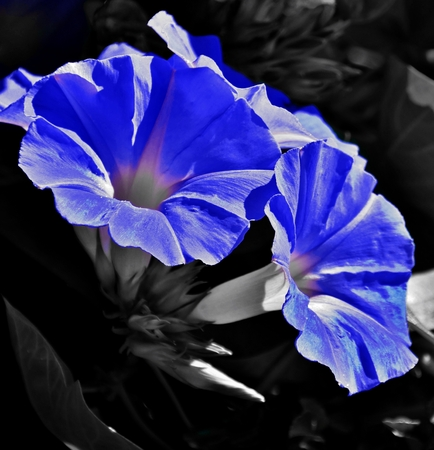Close up of blue morning glory flower